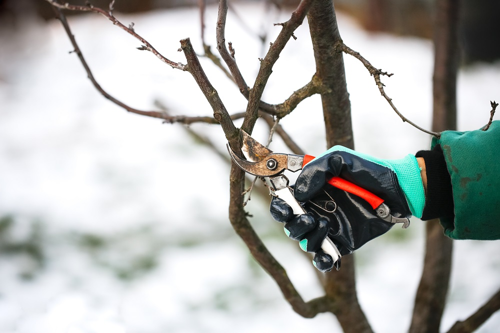 pruning in the winter