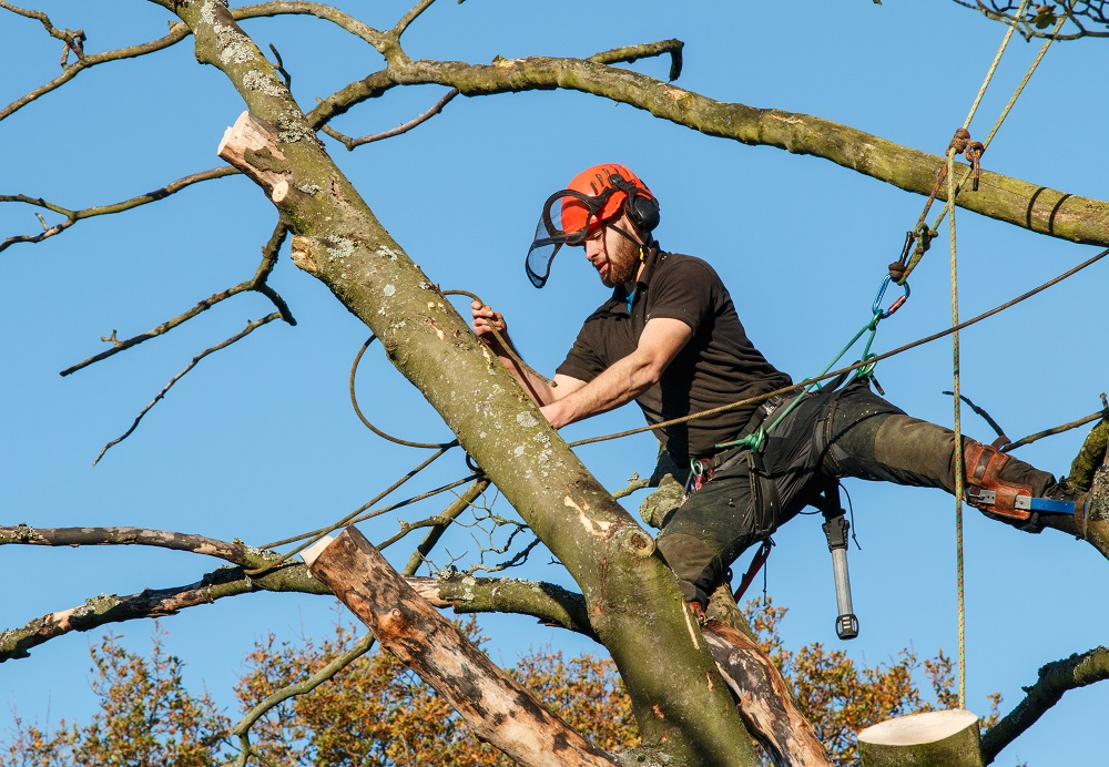 Man safely felling a tree